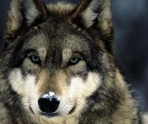 В Крыму отстреливают волков из-за роста популяции