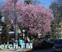 В Керчи к цветущему дереву выстраивается очередь сфотографироваться, - читатели