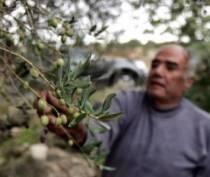 Сирийцы в знак дружбы посадят оливковые деревья в Крыму и Латакии