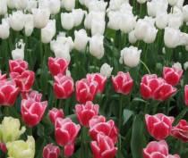 Вырванные тюльпаны в центре города