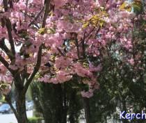 Скоротечная красота: в Керчи цветут сакуры