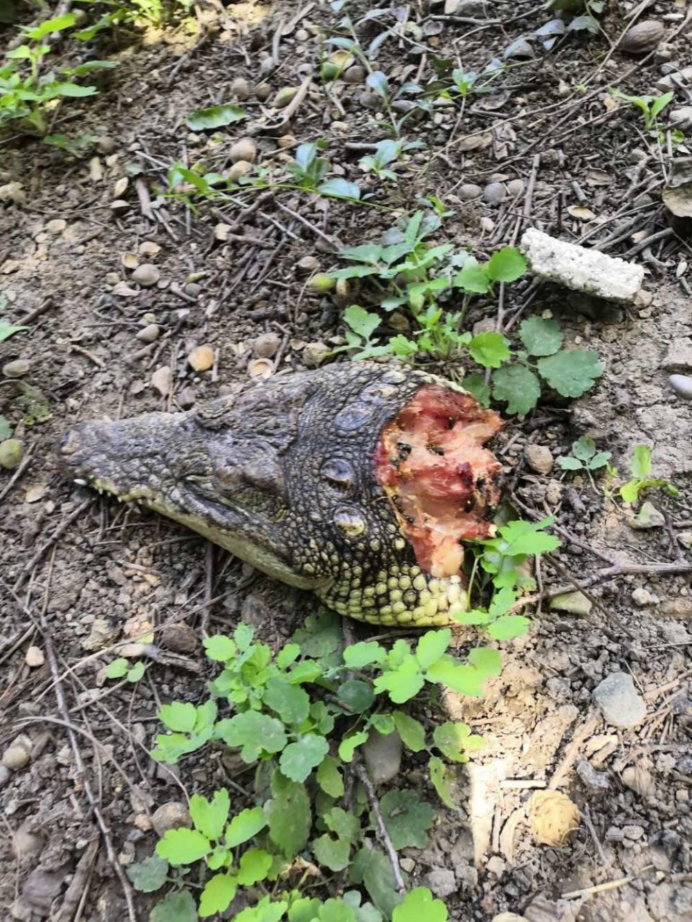 Только крокодилья пасть