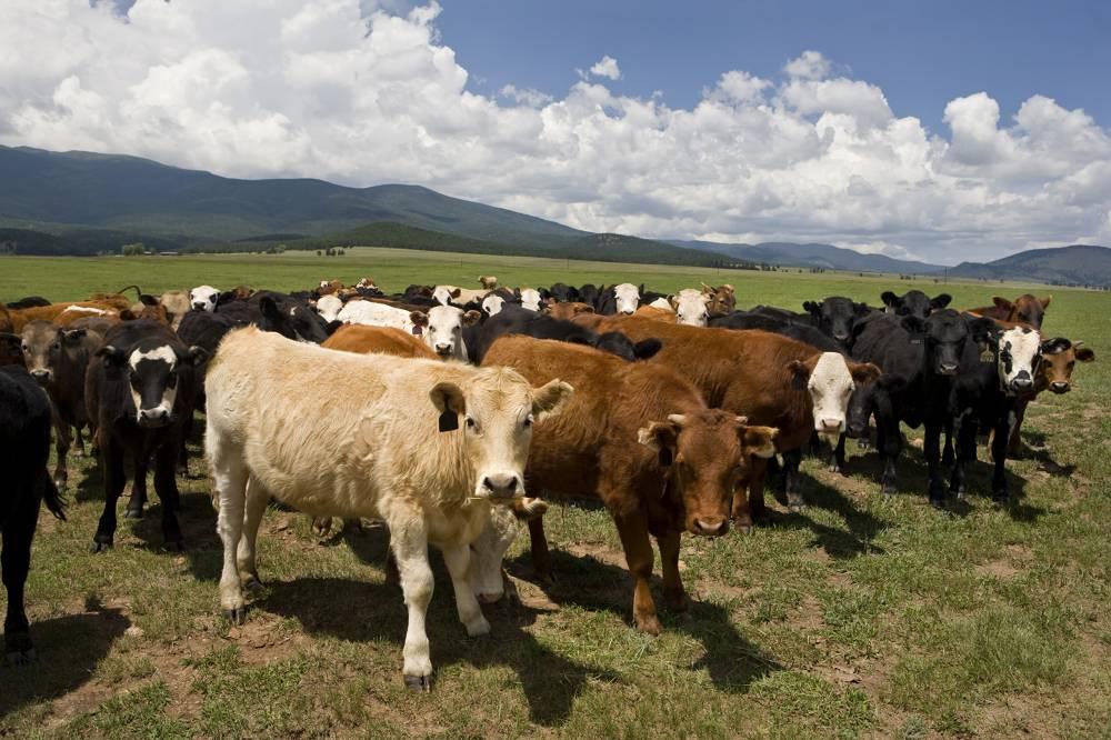 Неопознанные коровы и бараны