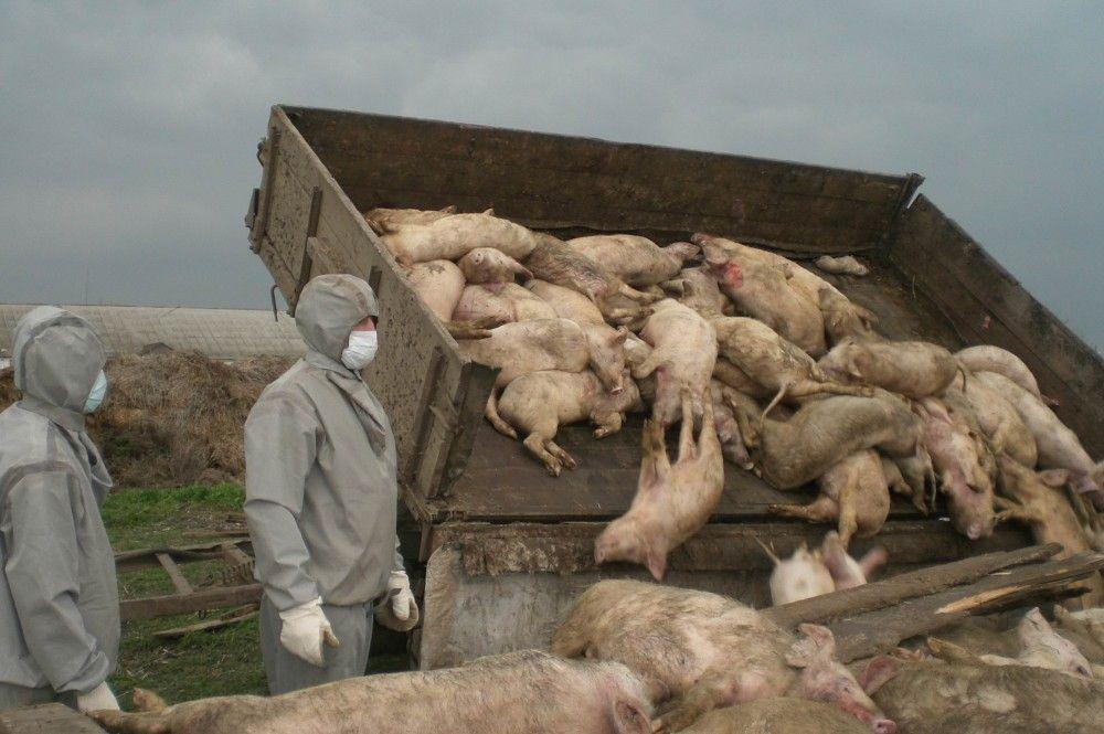 В одном из сел возле Феодосии начался падеж свиней
