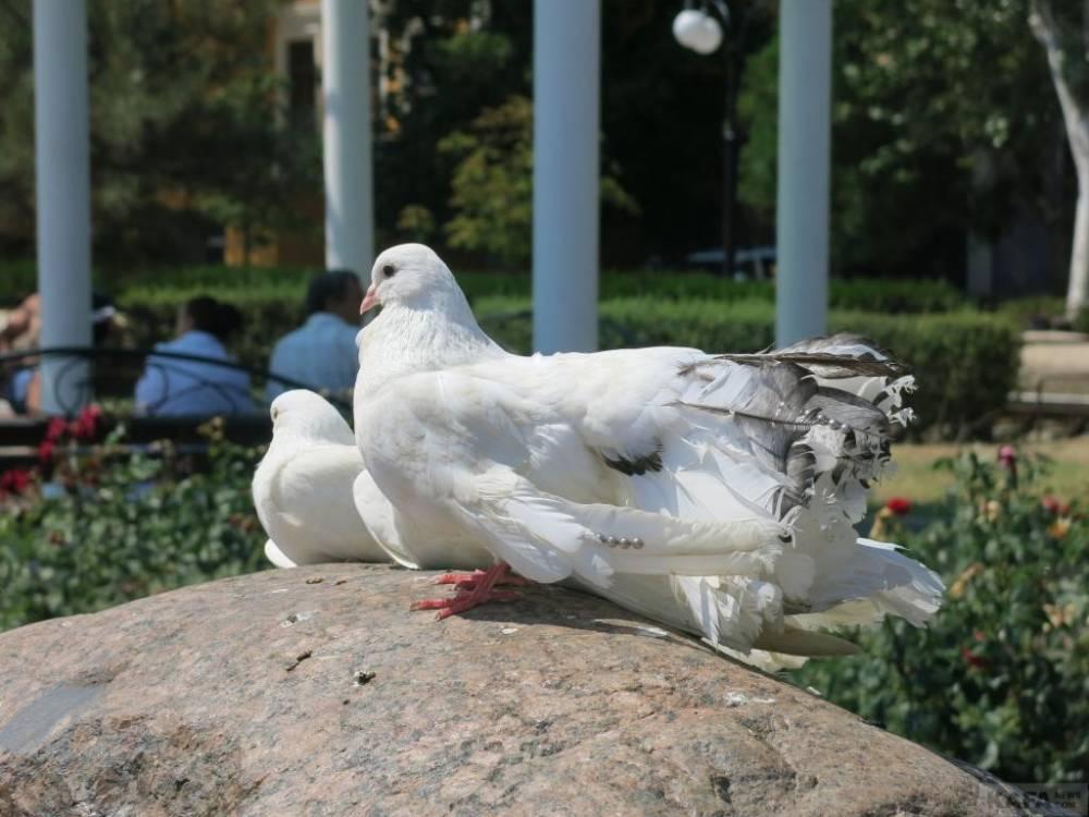 На набережной Феодосии изъяли 10 голубей