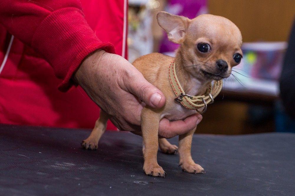 Вслед за кошками на выставке Феодосии показали собак