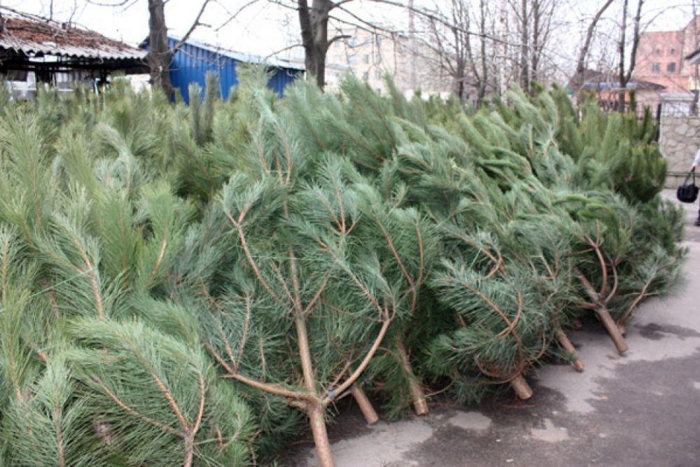 В Феодосии организуют шесть пунктов продажи новогодних елок