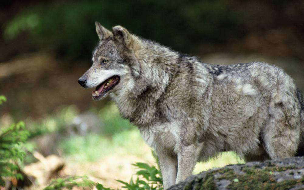 Напавший на людей в Крыму волк был болен бешенством