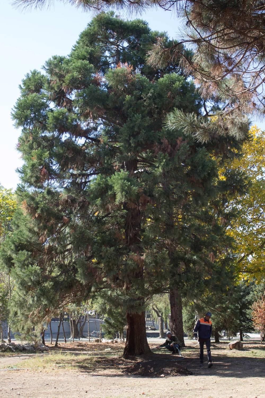 В Гагаринском парке лечат уникальное дерево