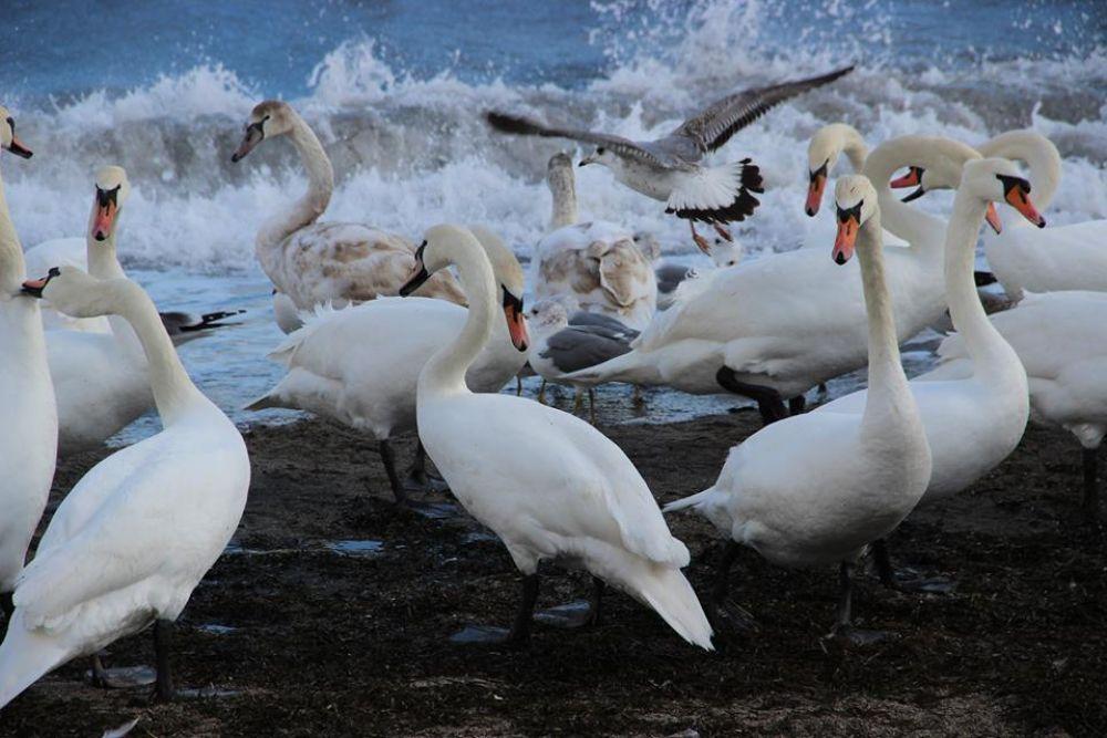 Минприроды отметило эффективность проводимых в Феодосии акций по кормлению лебедей