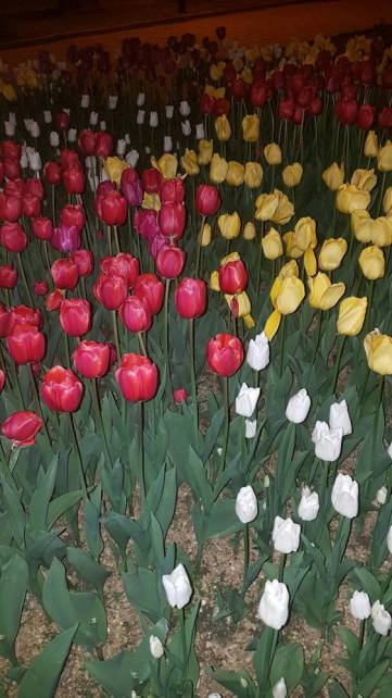 Тюльпаны в Феодосии (Фото)