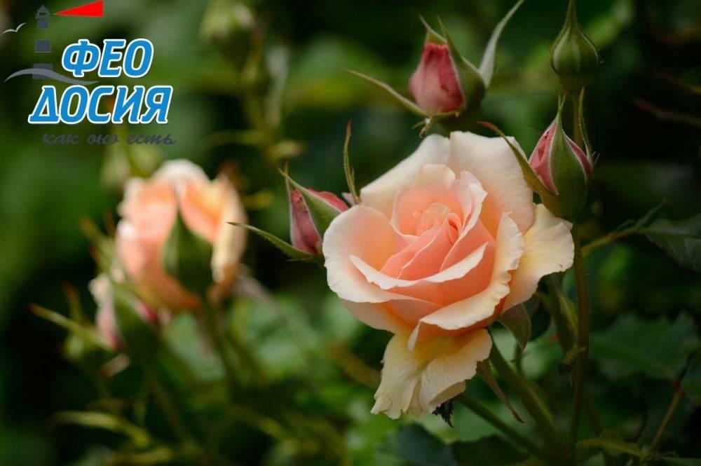 Розы Феодосии