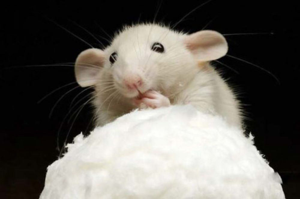 В «Кипарисе» завелись мыши!