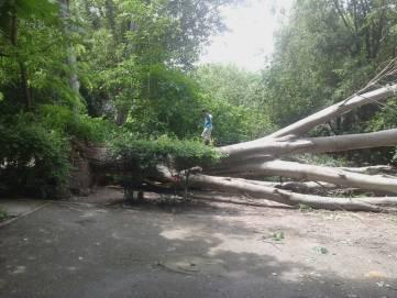 В Феодосии валятся огромные старые деревья (ФОТО)