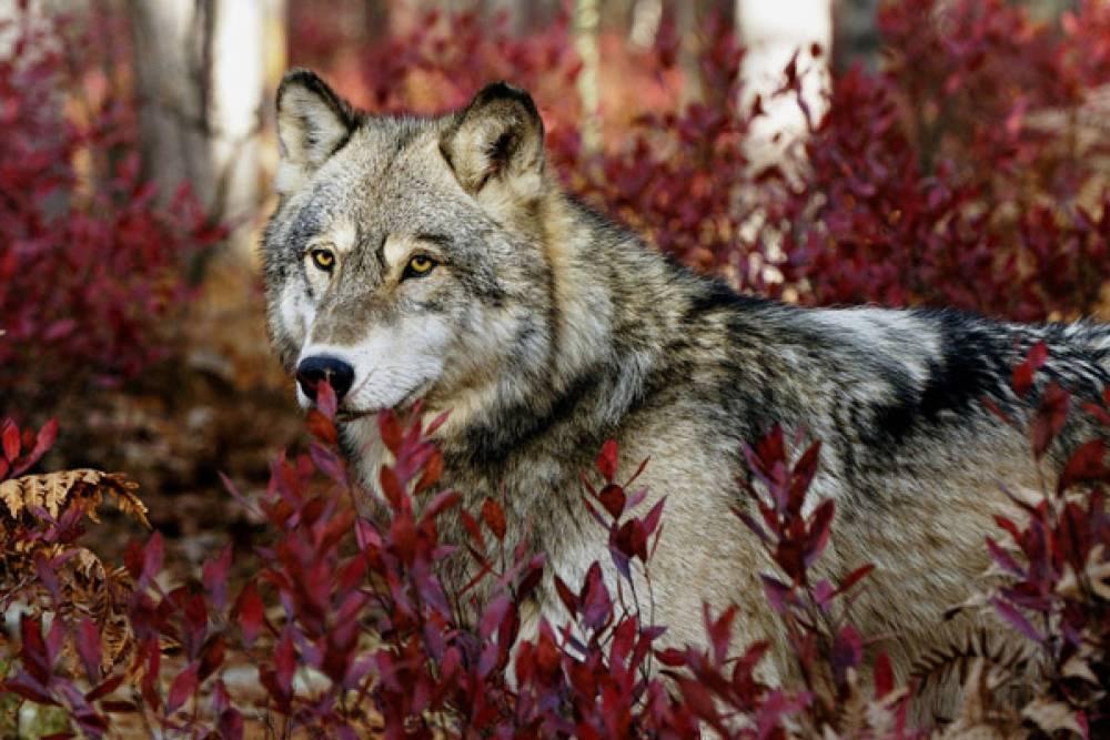 Охота на волков в разгаре