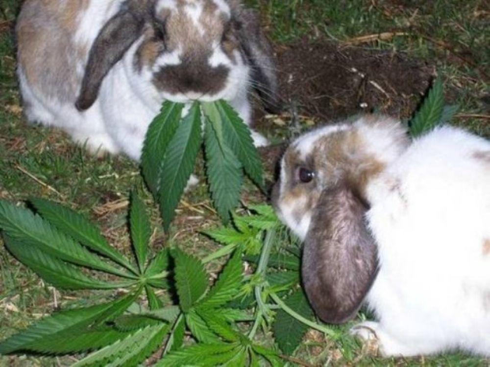 Ленинцу грозит немалый срок за хранение конопли «для кроликов»