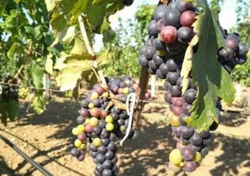 Почти 30 га виноградников заложено в Судаке в рамках двух инвестпроектов