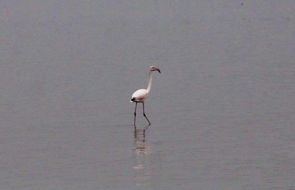 Фламинго в Феодосии