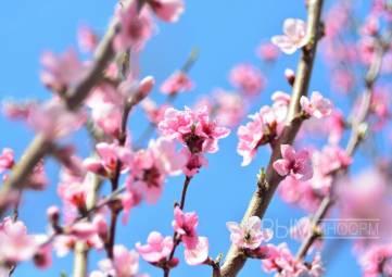Крымские садоводы рассчитывают повторить высокий урожай персиков 2016 года