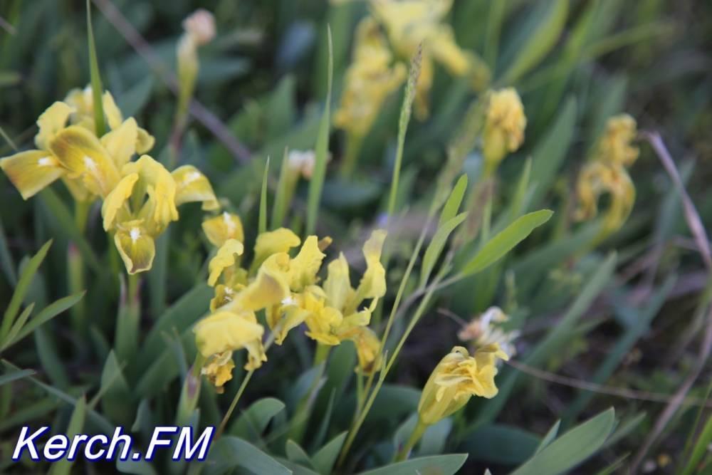 В Керчи цветут полевые ирисы