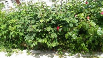 В Судаке бедствуют розы