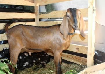 Нубийскому козлу из Бахчисарайского района привезли двух новых самок для качественного потомства
