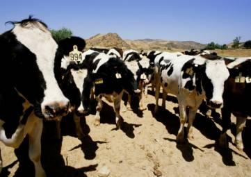 Поголовье крупного рогатого скота в Крыму с начала года увеличилось почти на 15%