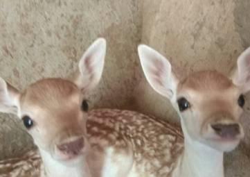 Европейские лани принесли потомство в зоопарке Бахчисарая