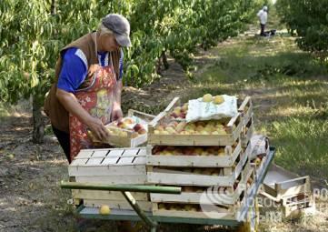 В Крыму планируют собрать фруктов на треть больше, чем в прошлом году