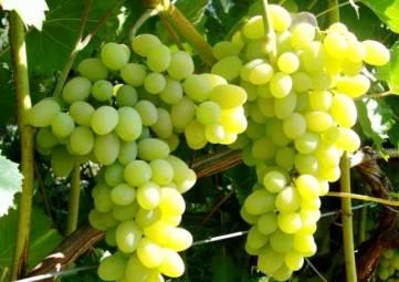 «Массандра» рассчитывает на урожай в 15 тыс тонн винограда