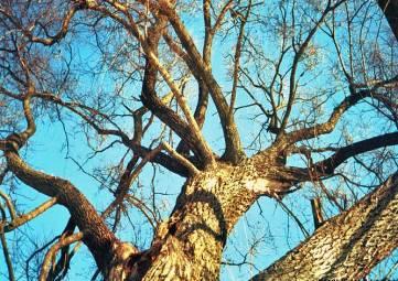В Феодосии не пилят аварийные деревья?