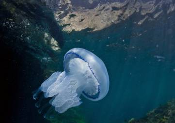 Морская крапива