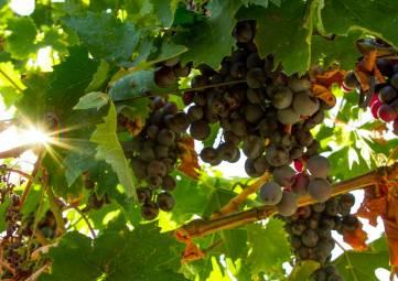 Севастопольский винодельческий завод собрал первый урожай с молодых виноградников, заложенных в 2015 году