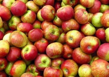 Невиданный урожай яблок