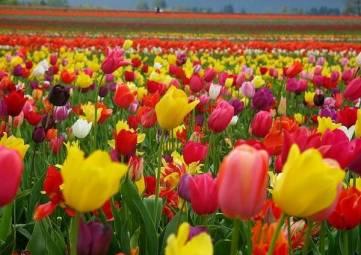 320 тысяч тюльпанов расцветут в Севастополе в следующем году