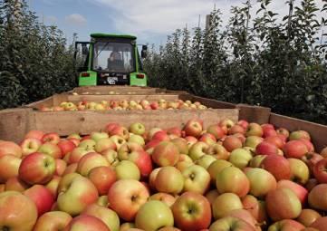 В Крыму собрали 94 тыс тонн яблок