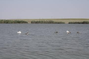 Лебеди на нашем озере