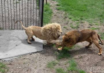 Львиный сезон открыли в сафари-парке Крыма