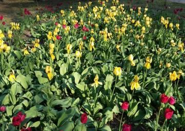 Тюльпаны гибнут